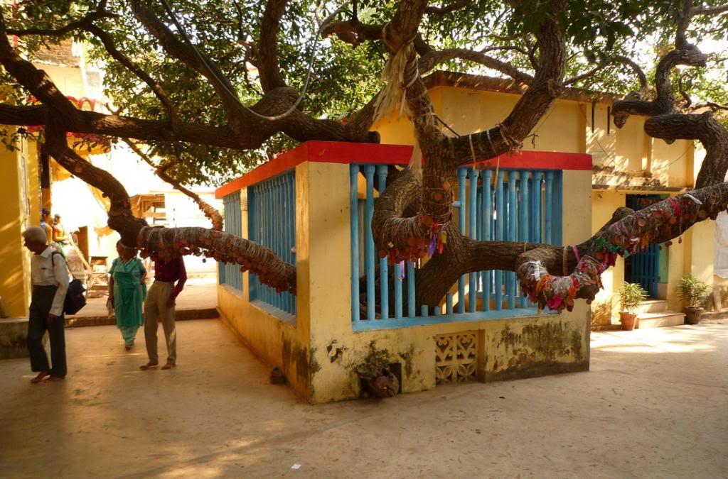 Siddha-Bakul
